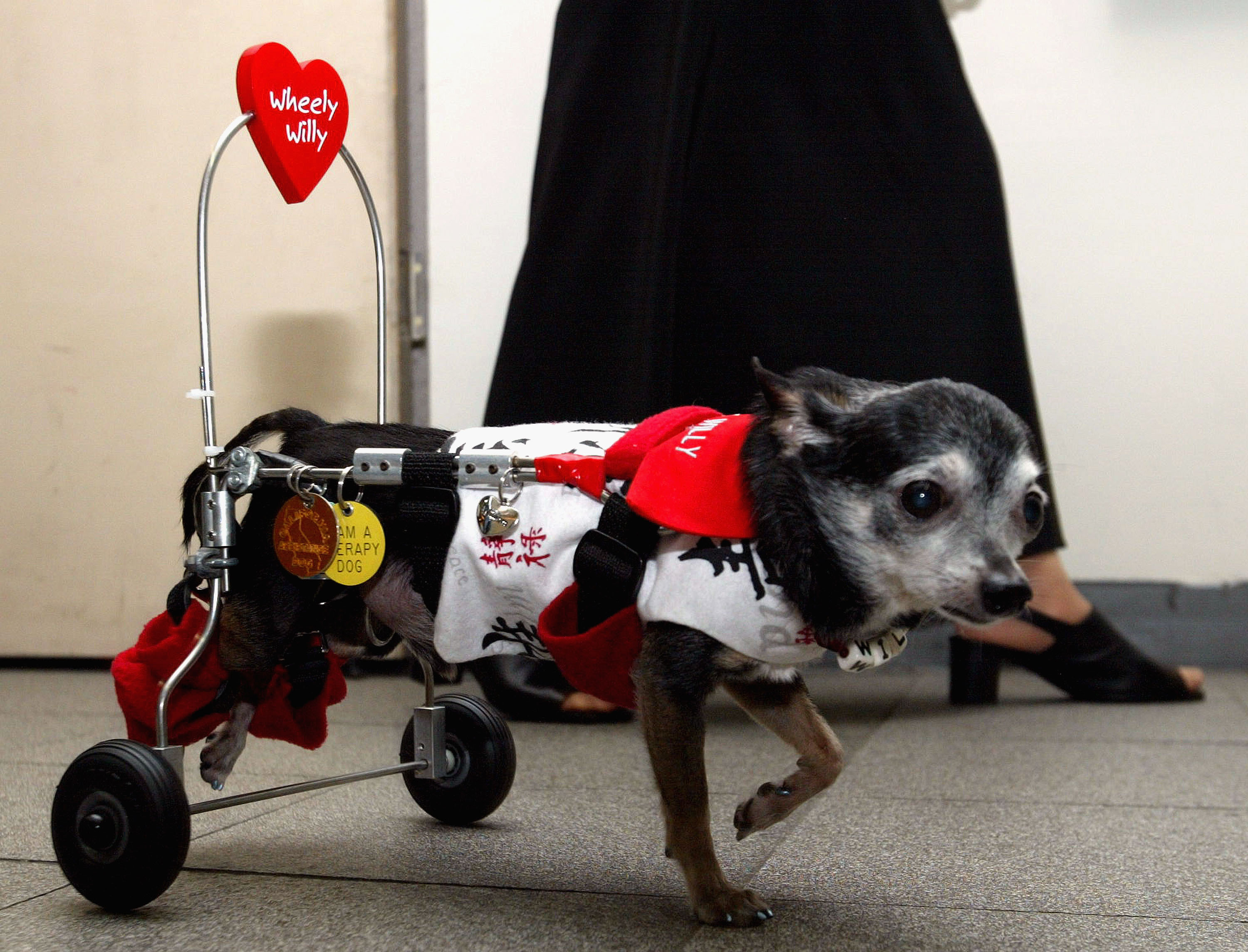 JPN: Paraplegic Chihuahua Wheels Into Tokyo - TOKYO - JULY 4: Willy the paraplegic Chihuahua from Long Beach, California, strolls in a bookshop on July 4, 2004 in Tokyo Japan. 'Wheely Willy,' with his special K-9 cart wheelchair and his owner, Deborah Turner, are on their first trip to Japan. (Photo by Koichi Kamoshida/Getty Images)